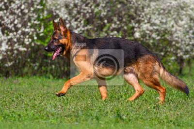 Shepherd dog trot in spring park