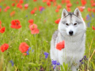 Wall mural Siberian Husky - poppies flowers
