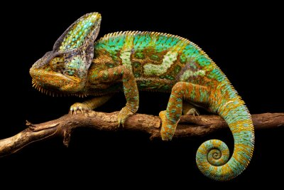 Wall mural Side on picture of a yemen chameleon isolated on a black background