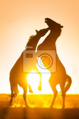 Silhouette of  two fighting horses against orange sunset sky