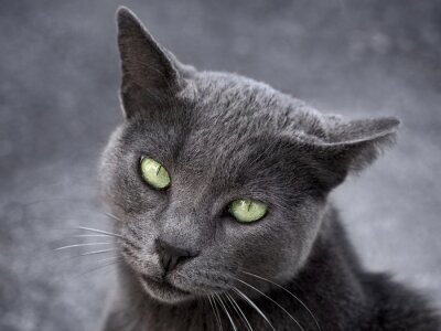 Silver cat on gray background