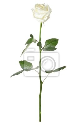 Wall mural Single white rose isolated on white background