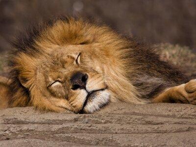 Wall mural Sleeping Lion
