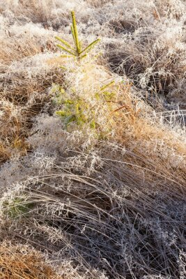 Small spruce and frost hay wintry morning