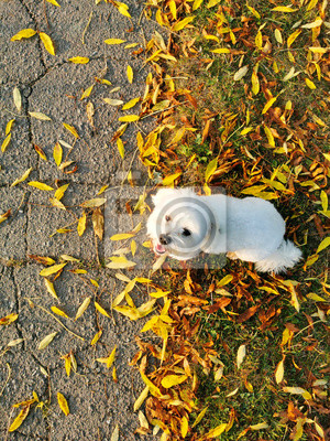 Wall mural small white dog in autumn