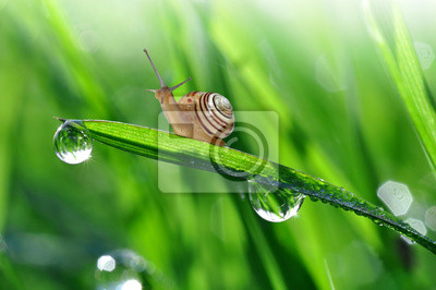 Wall mural Snail on dewy grass