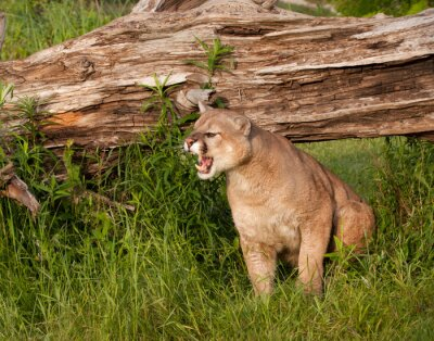 Wall mural Snarling Mountain Lion