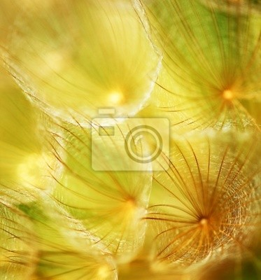 Wall mural Soft dandelion flower