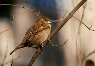 Wall mural sparrow sitting on a branch