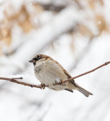 Wall mural Sparrow winter nature