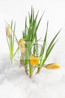 Wall mural Spring crocus flowers, snowdrops buds in snow