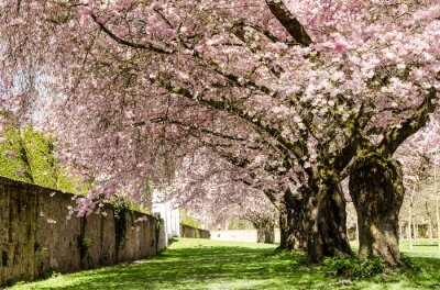Wall mural Spring Dream : Japanese cherry blossoms :)