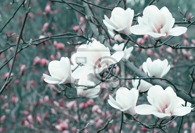 Wall mural Spring floral background with white magnolia flowers.