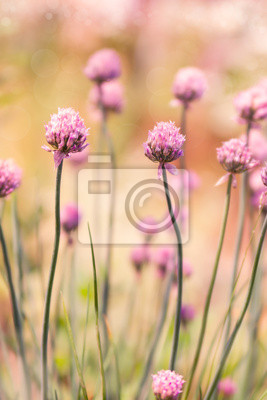 Spring flower chives on sunny day