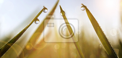 Spring grass with dew drops at sunrise. Nature Background.