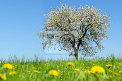 Spring landscape. Blooming cherry tree on meadow with dandelions.
