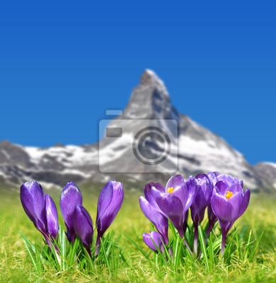 Spring landscape.Blooming purple crocus flowers on mountain meadow in the background mount Matterhorn. Pennine Alps,Switzerland.