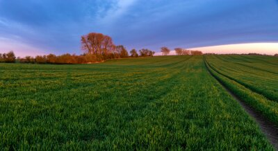 spring panorama of green sown crops during sunset
