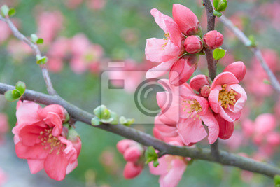 Wall mural Spring pink flowers on twig