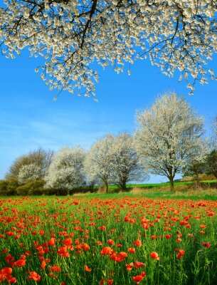 Spring rural landscape with blooming poppy field and trees in sunny day,  Czech Republic.