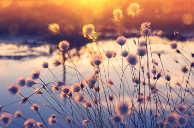 Wall mural Spring scene. Plant cotton grass over water in beams of the sunset sun.