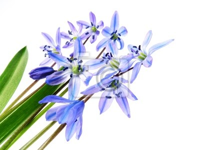 Wall mural spring scilla flowers
