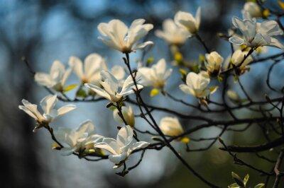 Wall mural Spring tree in flowers, magnolia