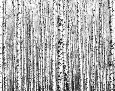 Wall mural Spring trunks of birch trees black and white