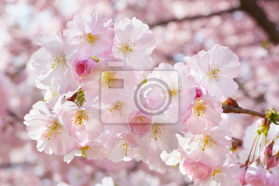 Wall mural Spring twig with flowers on background with pink blossom