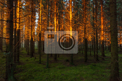 Spruce forest and sunset light landscape