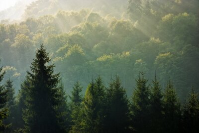 Wall mural spruce forest on foggy sunrise in mountains