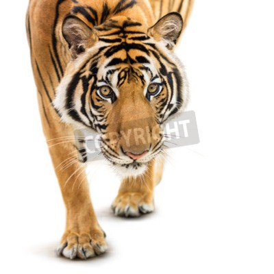 Wall mural Stalking young siberian tiger isolated on white background