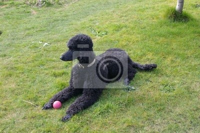 Wall mural standard poodle with ball