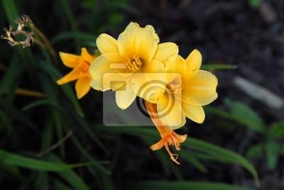 stella d'or lillies