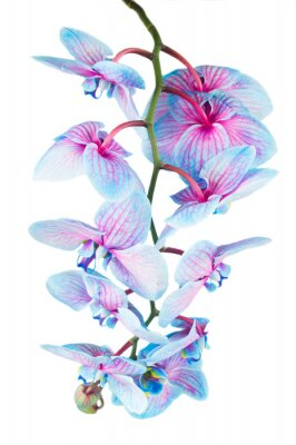Wall mural stem of blue orchids