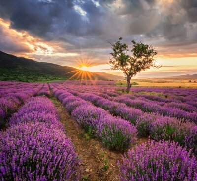 Wall mural Stunning landscape with lavender field at sunrise