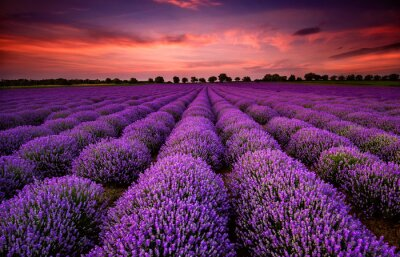Wall mural Stunning landscape with lavender field at sunset