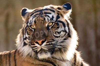 Wall mural Sumatran tiger (Panthera tigris sumatrae) is a rare tiger subspecies that inhabits the Indonesian island of Sumatra