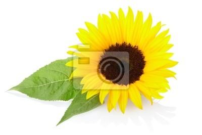 Wall mural Sunflower