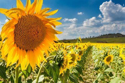 Wall mural Sunflower tuscany, val d'orcia