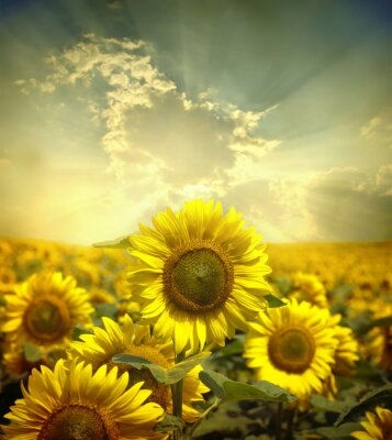 Wall mural  sunflowers