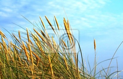 sunlit rushes moved by wind, with blue cloudy sky above