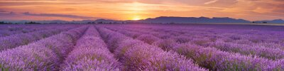 Wall mural Sunrise over fields of lavender in the Provence, France