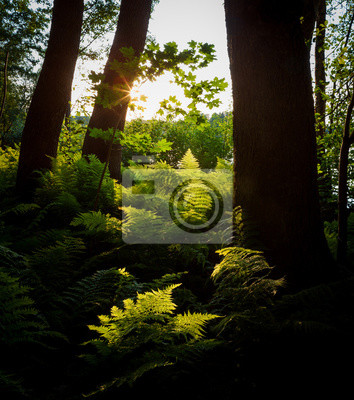 Sunset light shining to ferns in forest