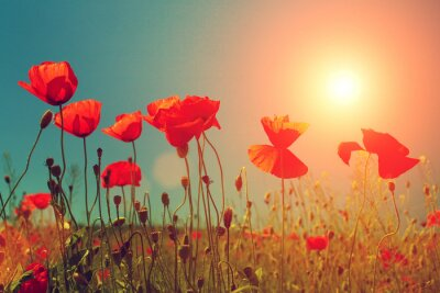 Wall mural Sunset over poppies field