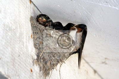 swallow feeding nestling