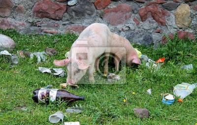 świnie na wysypisku