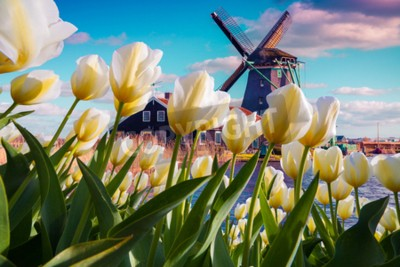 Wall mural The famous Dutch windmills among blooming white tulip flowers. Sunny outdoor scene in the Netherlands. Beauty of countryside concept background. Creative collage.