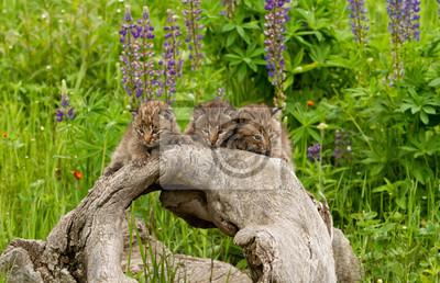 Wall mural Three Bobcat Kittens Posing on a Log