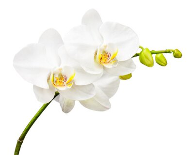 Wall mural Three day old orchid isolated on white background.